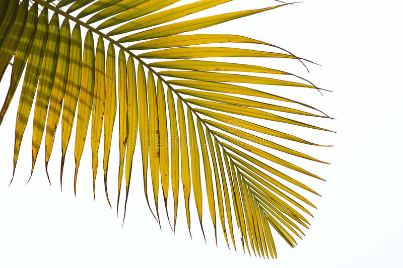 Download Withered Leaves Of Palm Tree Stock Image - Image: 14993013