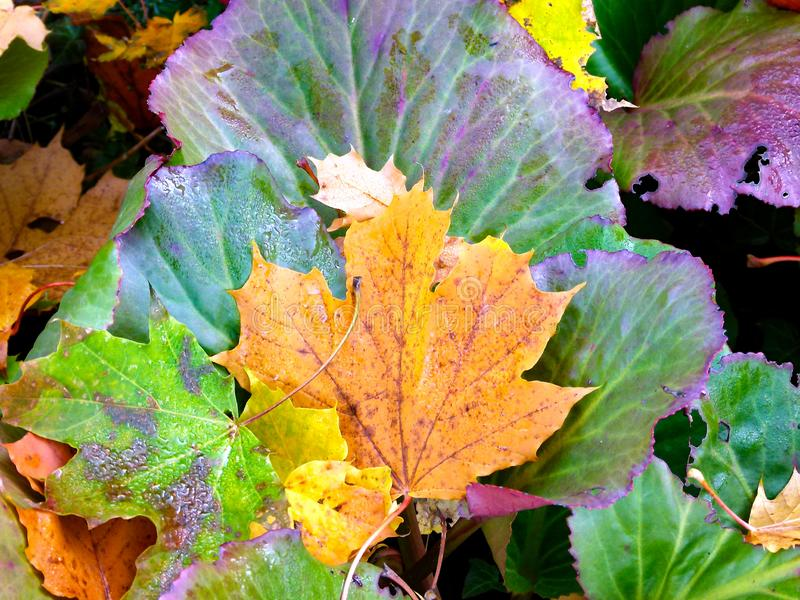 Different autumnally discolored leaves royalty free stock photos
