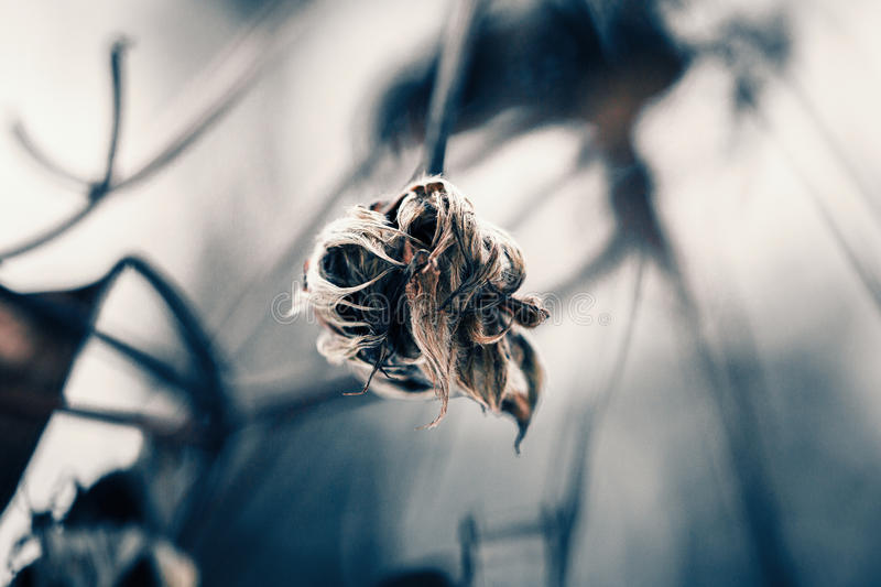 Withered plant stock photography