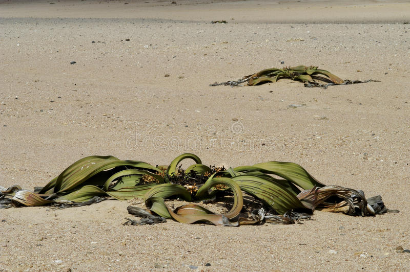 Withered plants in desert stock images