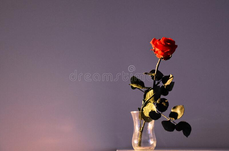 Withered red rose flower stock images royalty free stock images