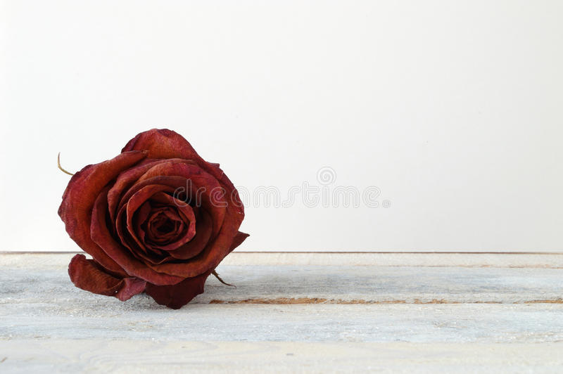 Withered red rose flower on a white wooden shelf. White background royalty free stock photo