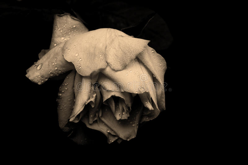 Withered rose. Withered sepia rose with water drops on black royalty free stock photo