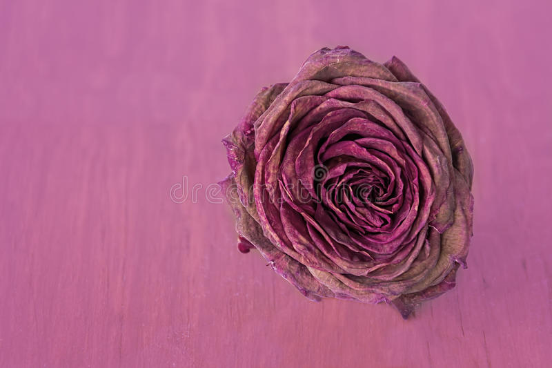 Withered rose. Withered red rose dry with petals over a pink background royalty free stock photography