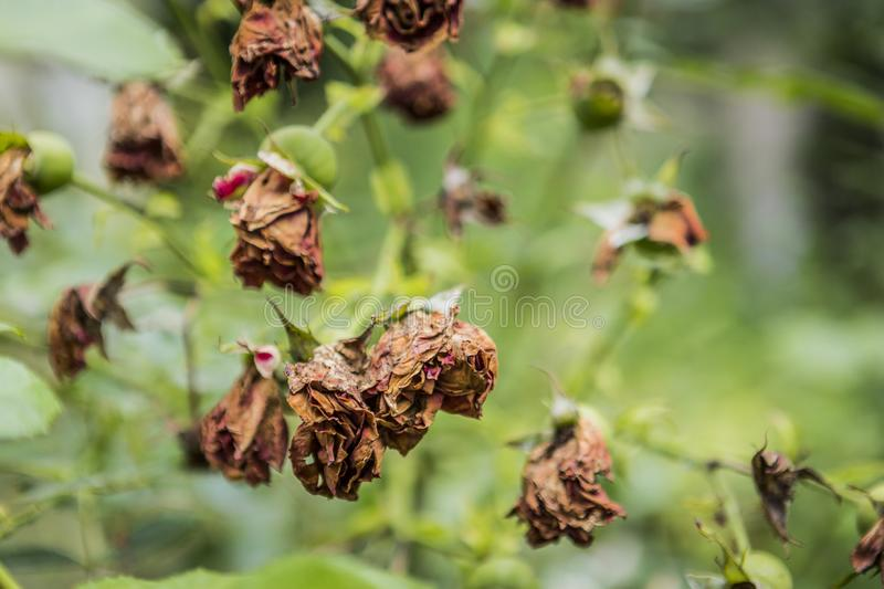 Withered roses and flowers in summer hot weather. Dead roses and flowers in the middle of summer. nature royalty free stock image