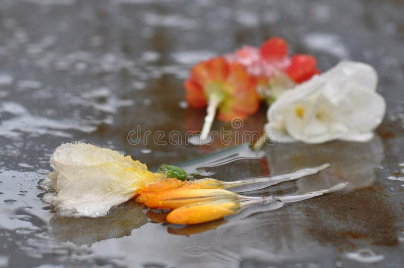 Withered spring flowers with ice stock image