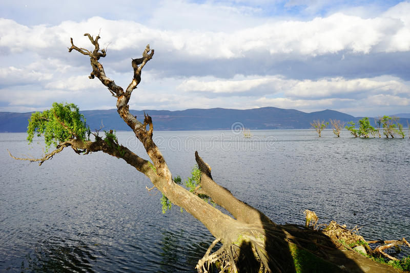Withered tree in the sea. In the summer stock image