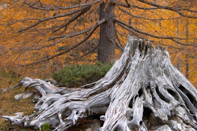 Withered tree stump stock photo