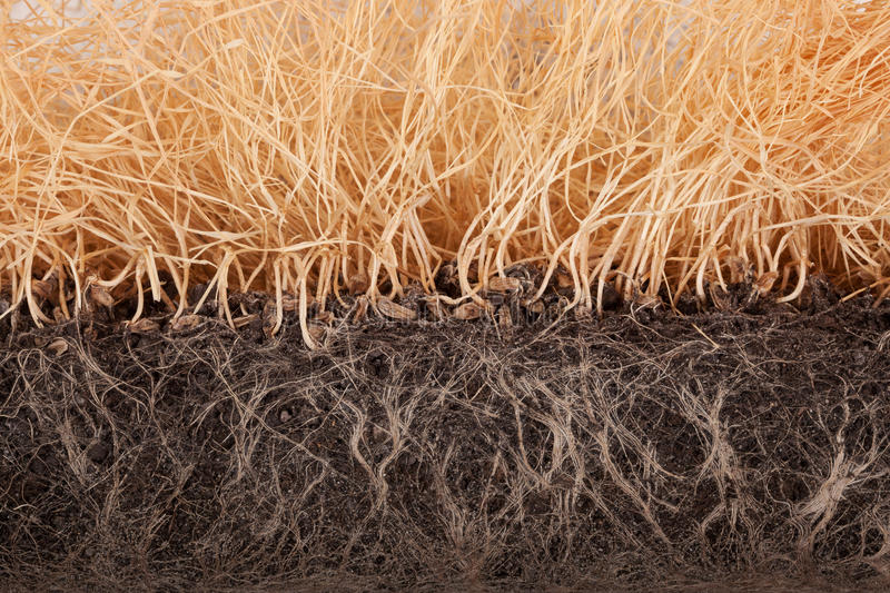 Withered wheat germ. Slice with roots in the ground close-up royalty free stock image