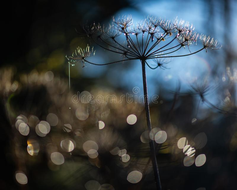 Withered wild carrot with dewdrops against the light on a wonderful bokeh background. Withered wild carrot with dewdrops against the light on a wonderful royalty free stock images