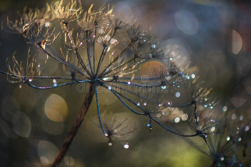 Withered wild carrot with dewdrops against the light on a wonderful bokeh background. Withered wild carrot with dewdrops against the light on a wonderful stock photos