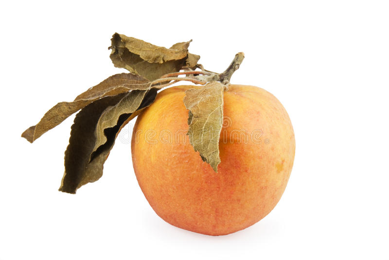 Withering Apple Stock Image