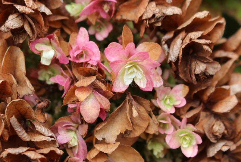 Withering autumn dried pink flowers. Plant in the field. Withering autumn dried pink flowers. Plant in the field on a fall day royalty free stock photos