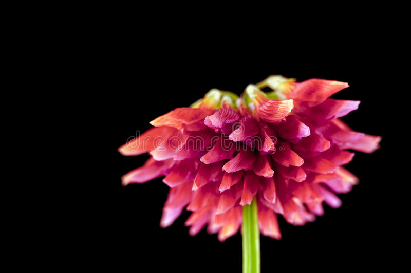 Withering flower. Close-up of a withering clover flower on black background royalty free stock images