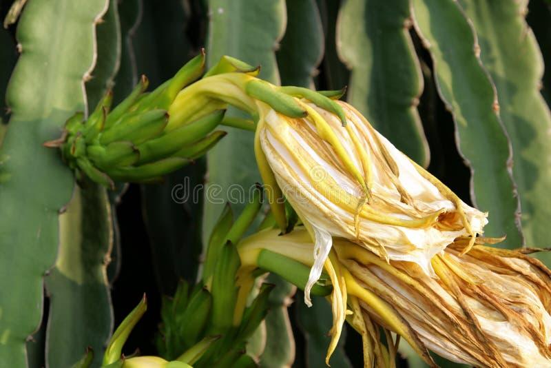 Withering flower of Pitahaya & x28;pitaya& x29; royalty free stock image