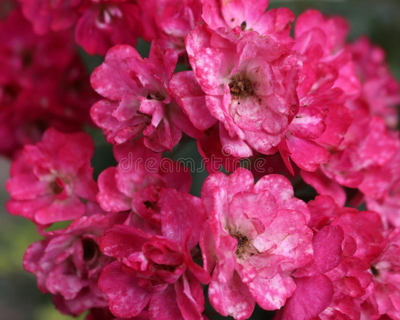 Withering  pink flowers of Nerium Oleander. Plant in the field. On a fall day royalty free stock photography
