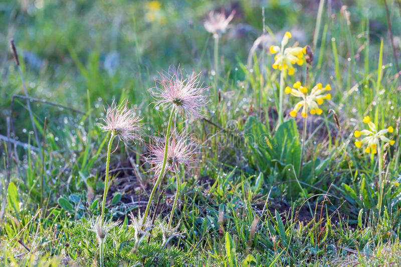 Withering Pasque flower. In the meadow royalty free stock images