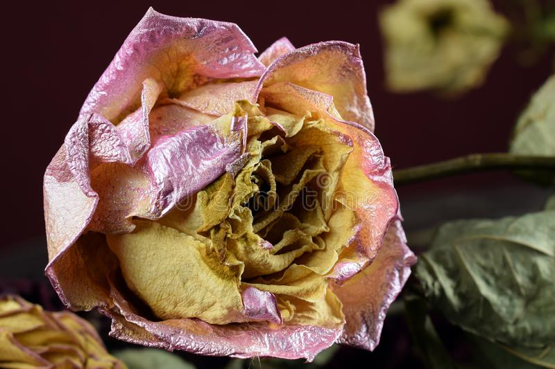Withering pink yellow rose. Close up stock photography