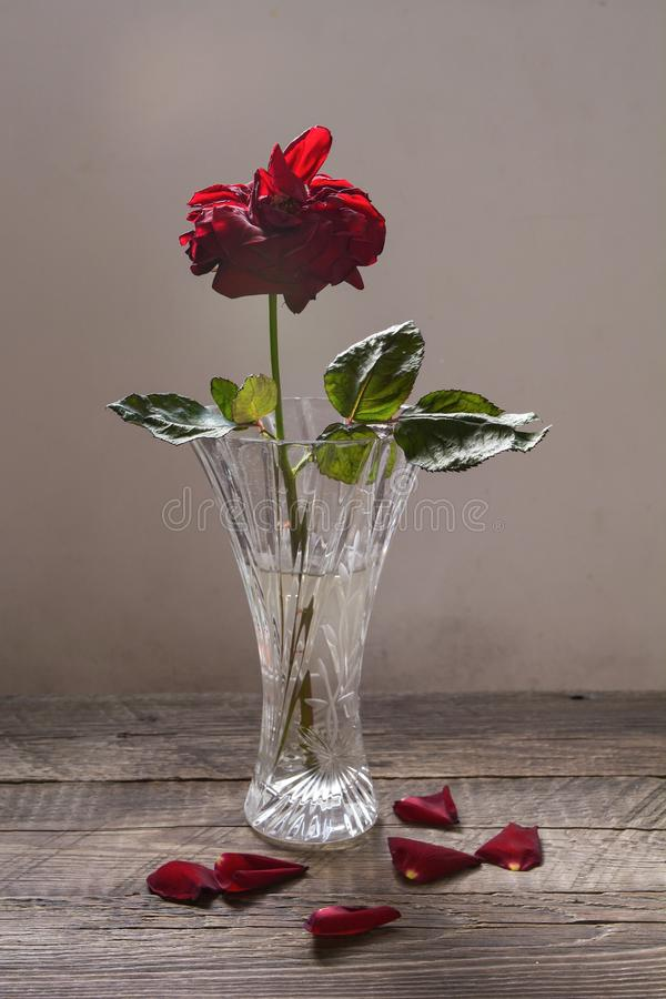 Withering red rose in a vase. The withering red rose in a vase with the fallen petals royalty free stock photo