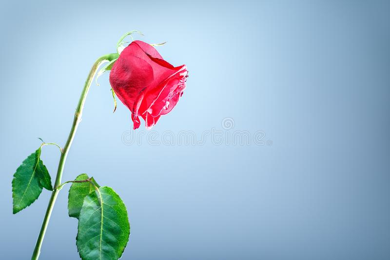 Withering red roses isolated on gray background. With copy space royalty free stock photography
