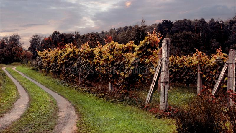 Withering vineyard stock image