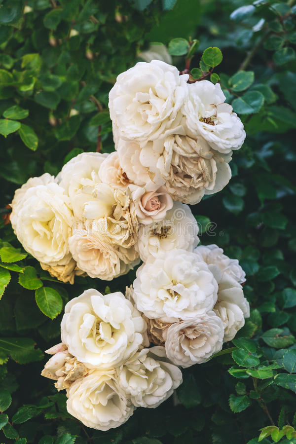 Withering white roses. Toned in matte gothic retro victorian style royalty free stock photos