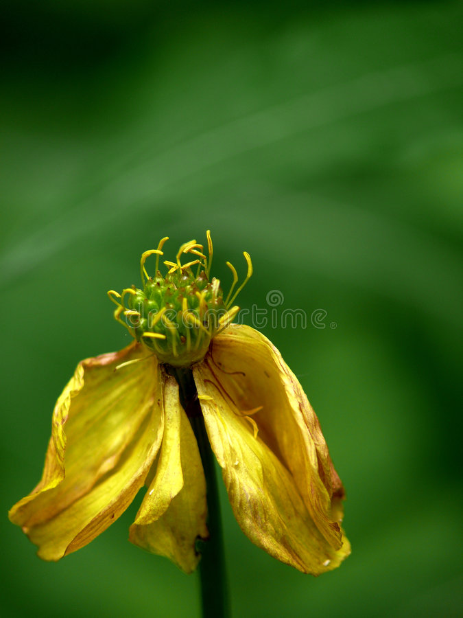 Withering yellow flower. A wood flower royalty free stock photo