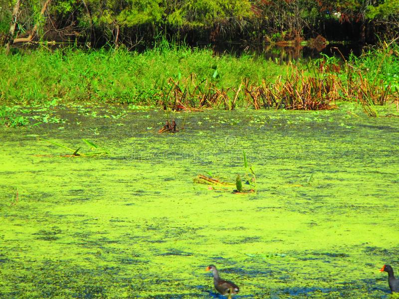 Aquatic birds walking on floating aquatic vegetation. Withlacoochee river, old florida rivers, aquatic vegetation. Florida rivers. Emergent vegetation stock images
