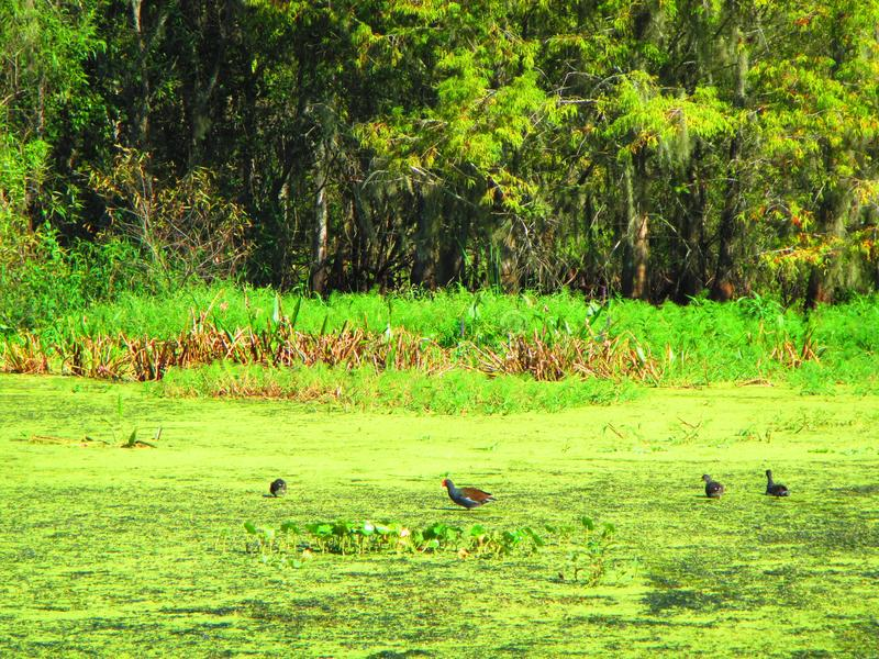 Aquatic birds walking on floating aquatic vegetation. Withlacoochee river, old florida rivers, aquatic vegetation. Florida rivers. Emergent vegetation royalty free stock photography