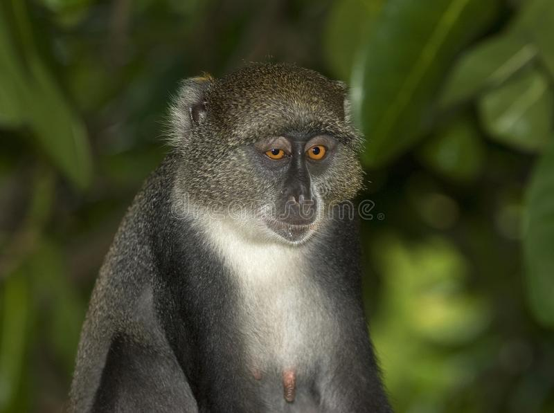 Witkeelmeerkat,赛克斯\ '猴子,长尾猴属albogularis 免版税库存图片