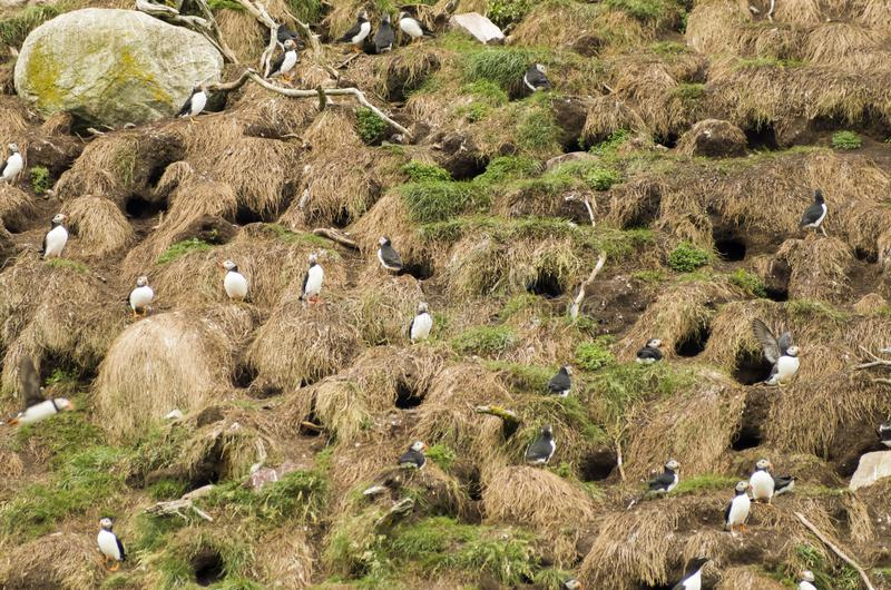 Atlantic puffins 1 stock images