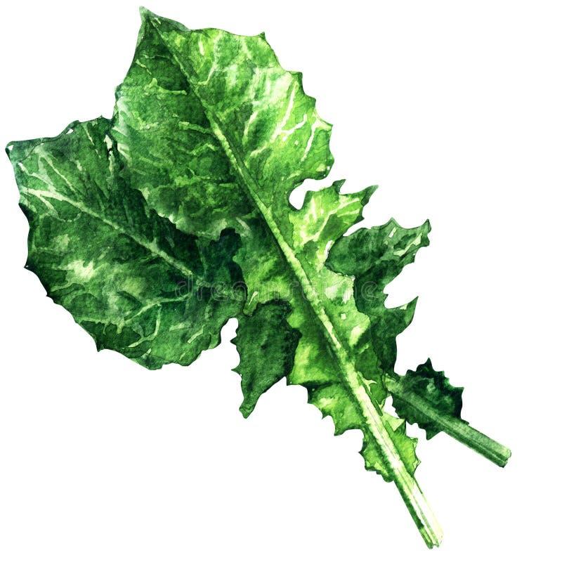 Witlofsalade, catalogna, andijvie, groene geïsoleerde bladeren, waterverfillustratie stock foto's
