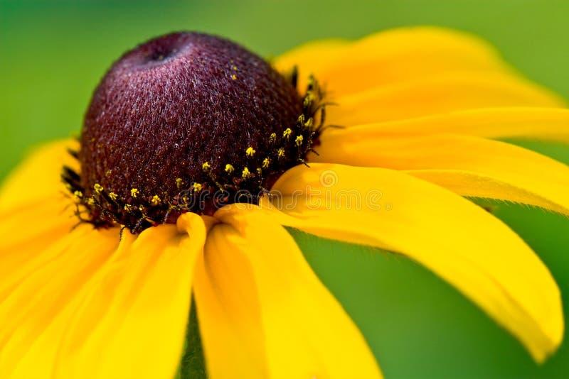 Witness the black-eyed susan. Black-eyed susan (rudbeckia hirta) macro royalty free stock image