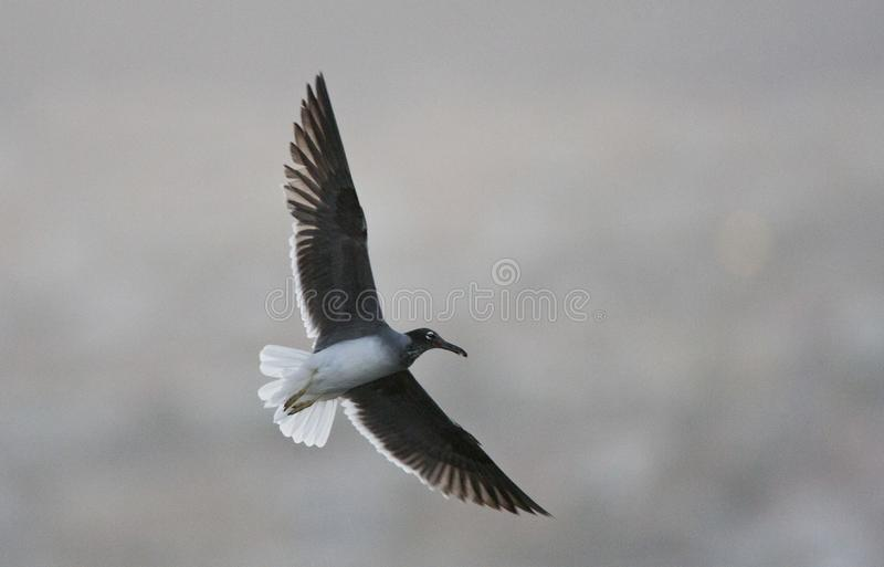 Witoogmeeuw, White-eyed Gull. Witoogmeeuw vliegend; White-eyed Gull flying stock photography