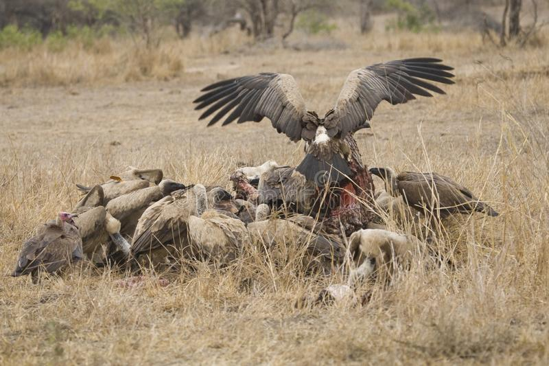 Witruggier, African White-backed Vulture, Gyps africanus royalty free stock photos
