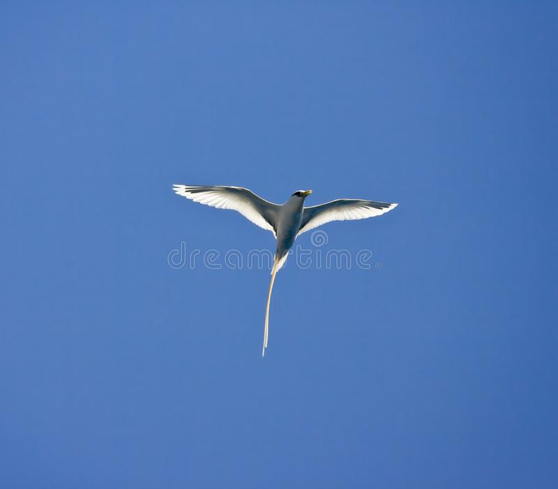 Witstaartkeerkringvogel, White-tailed Tropicbird, Phaethon lepturus royalty free stock photography