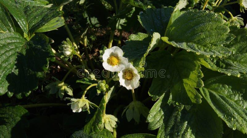 Witte aardbeibloemen nat met ochtenddauw royalty-vrije stock afbeelding