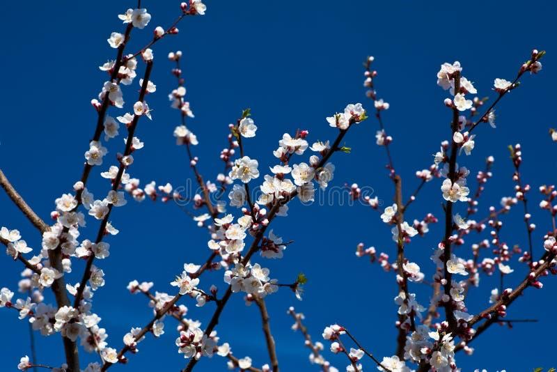 Witte abrikozenbloesems stock afbeelding