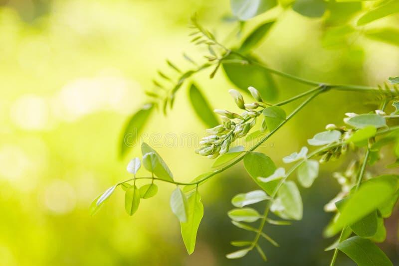 Witte acacia die in een zonnige dag bloeien royalty-vrije stock foto