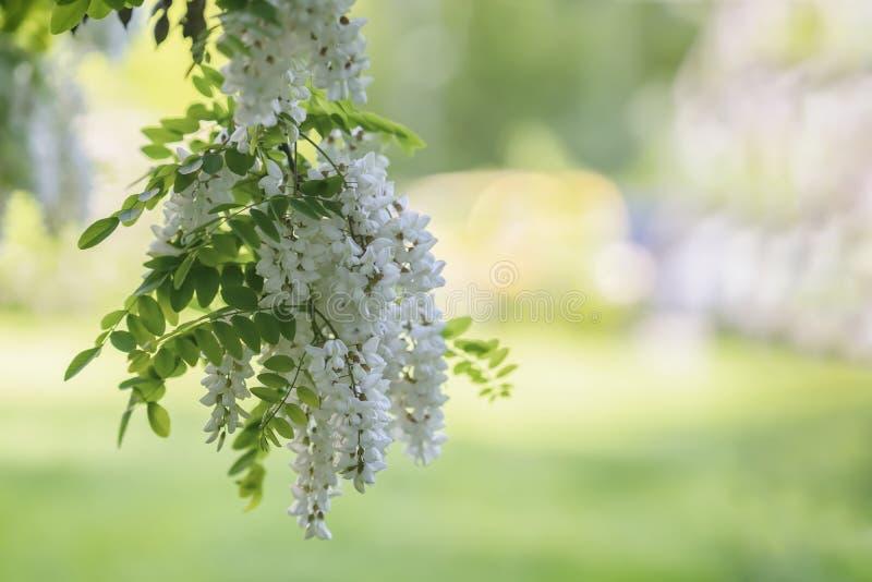 Witte acacia die, zonnige dag bloeien Overvloedige bloeiende acaciatak van Robinia-pseudoacacia, valse acacia, zwarte sprinkhaan stock foto