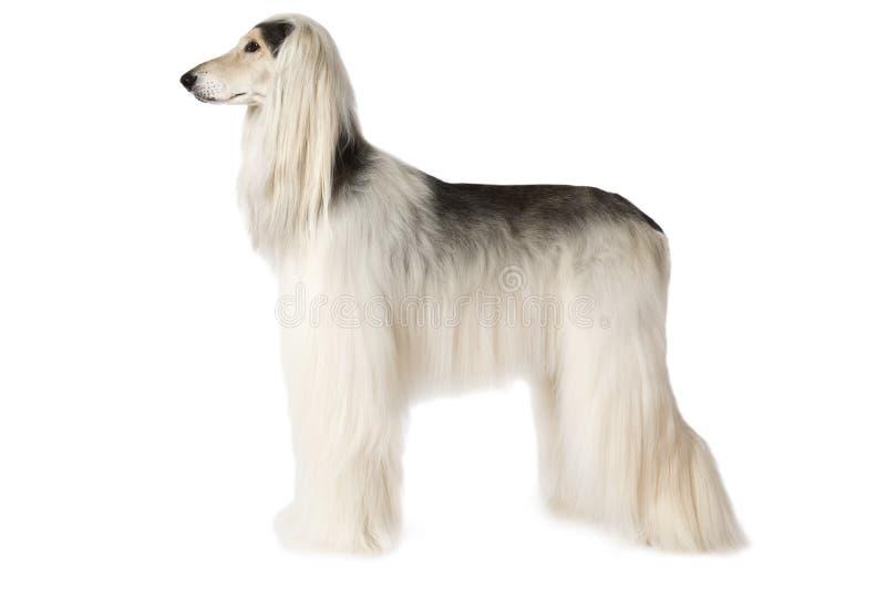 Witte Afghaanse hond die op witte achtergrond wordt geïsoleerd stock afbeelding