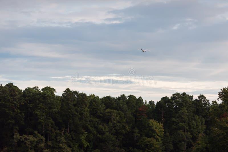 Witte Aigrette die boven Groene Bomen in Vroeg Ochtendlicht vliegen stock fotografie
