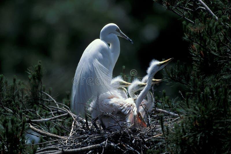 Witte aigrette die zich op nest bevindt stock fotografie