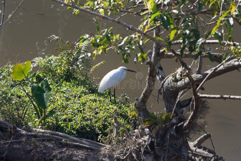 Witte aigrette naast meer bij het nationale park van Khaoyai royalty-vrije stock foto