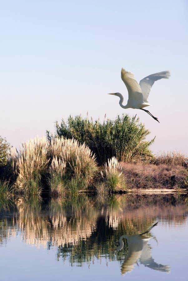 Witte Aigrette tijdens de vlucht stock fotografie