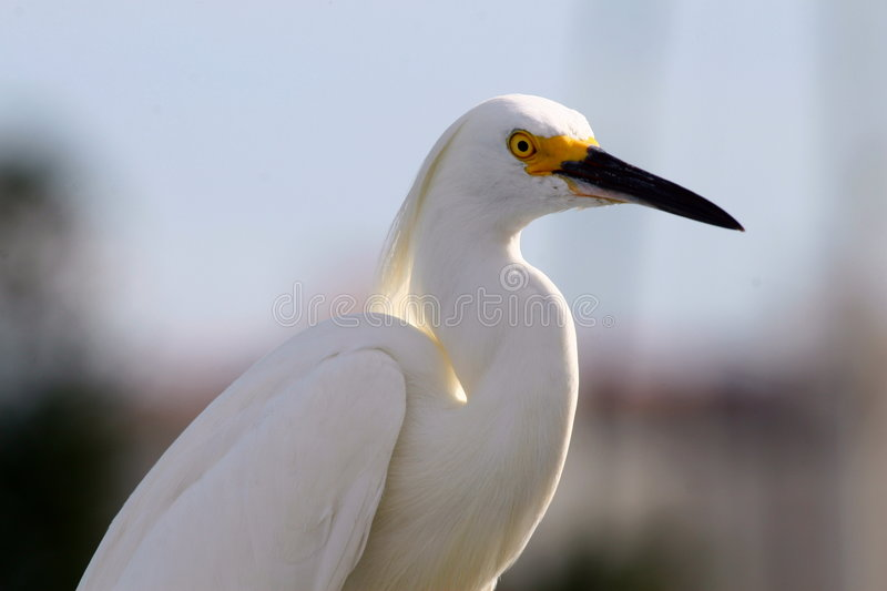 Witte aigrette, witte reiger royalty-vrije stock afbeelding