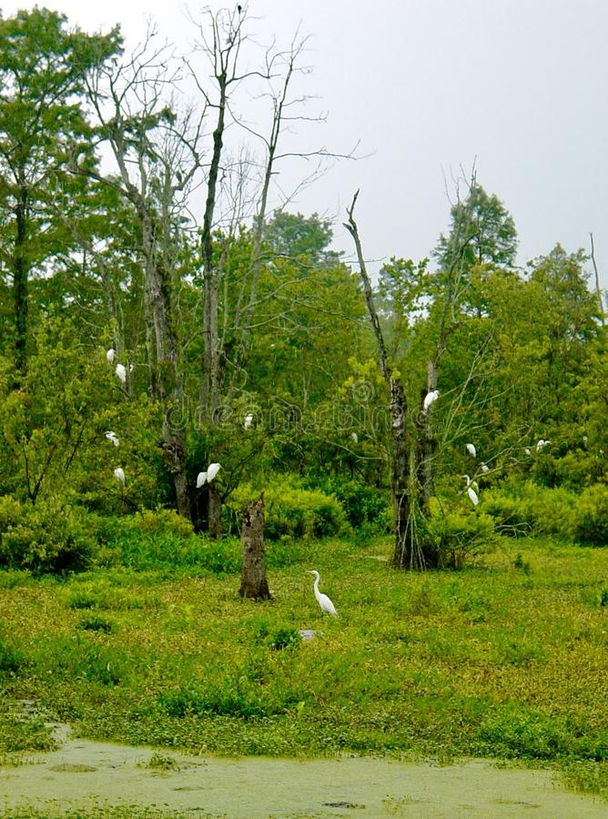 Witte Aigretteroekenkolonie stock afbeeldingen