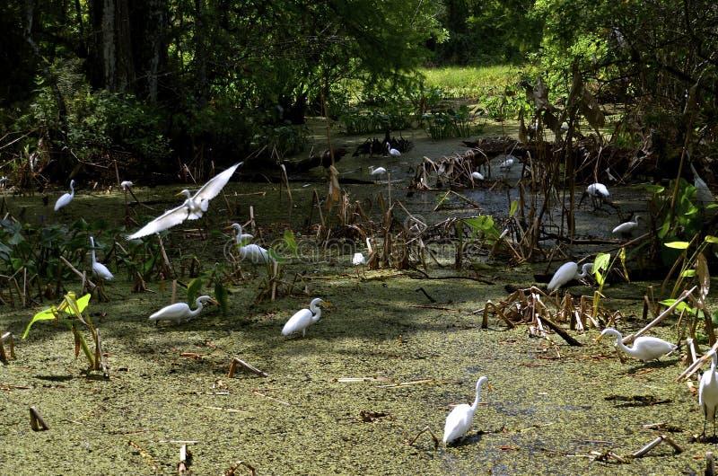 Witte Aigrettes in Everglades-Moeras stock afbeeldingen