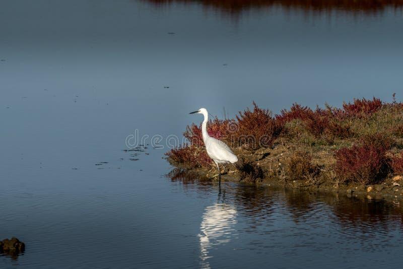 Witte aigrettewandelingen door het moeras in ornithologische rese royalty-vrije stock fotografie