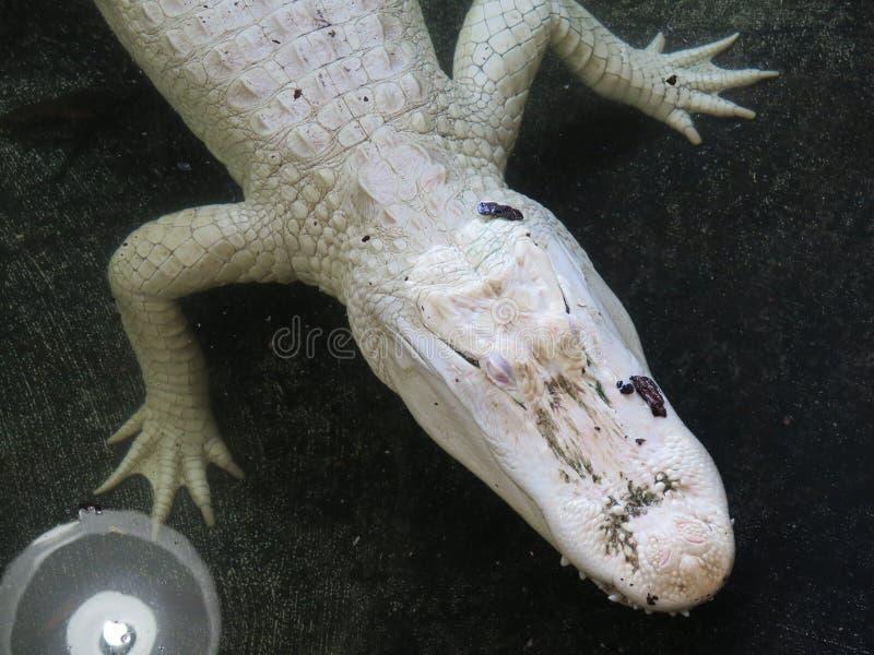 Witte albinokrokodil royalty-vrije stock foto's